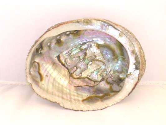 Coquille d'Abalone
